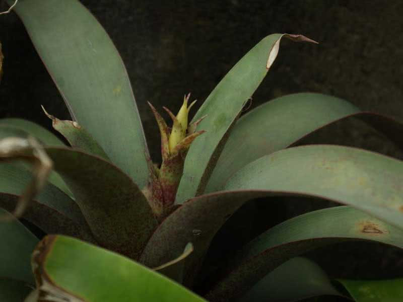 Vriesea saundersii / вриезия Сандерса