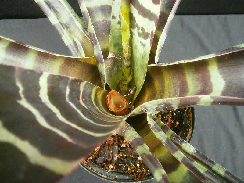 Vriesea splendens / вриезия блестящая (прекрасная)