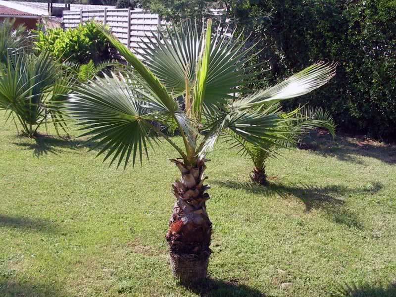 Washingtonia filifera / вашингтония нитеносная (нитчатая)
