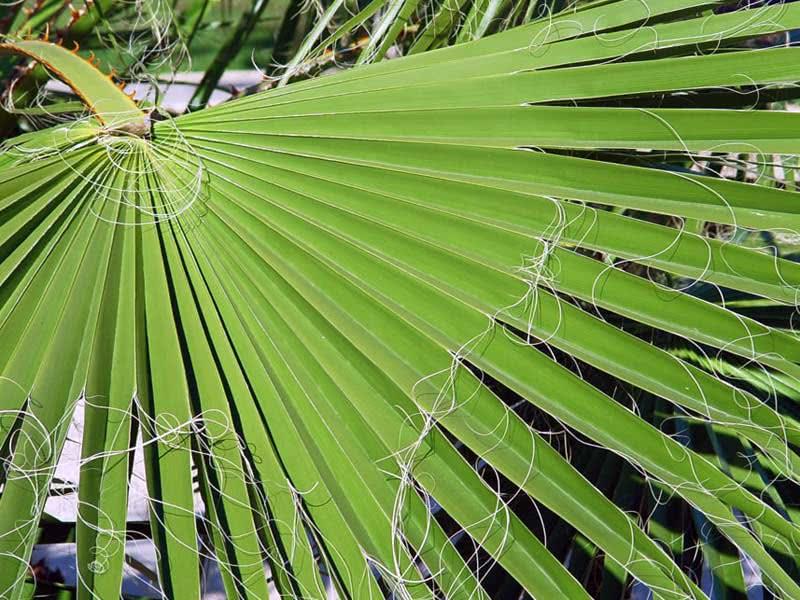 Washingtonia robusta / вашингтония крепкая (робуста)