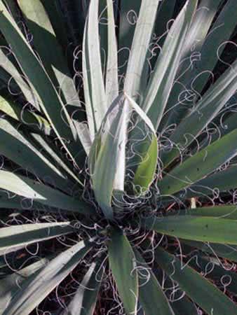 Yucca filamentosa / юкка нитчатая