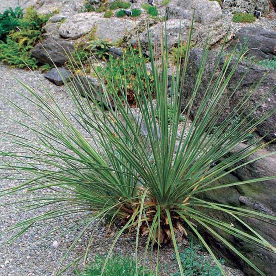 Yucca glauca / юкка сизая
