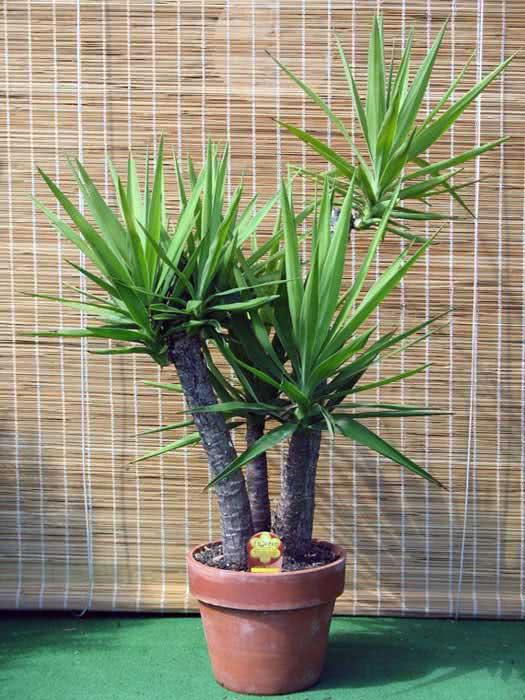 Yucca gloriosa / юкка славная (испанский кинжальник)