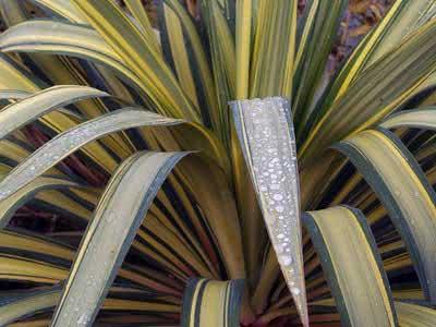Yucca recurvifolia / юкка отвороченнолистная