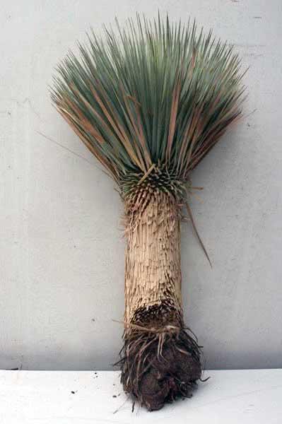 Yucca rostrata / юкка клювовидная