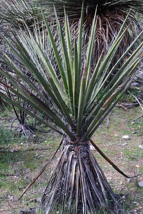 Yucca schottii (macrocarpa) / юкка Шотта (крупноплодная)