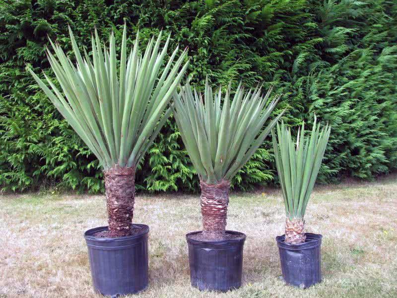 Yucca treculeana / юкка Трекуля