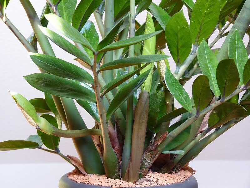 Zamioculcas zamiifolia (loddigesii) / замиокулькас замиелистный (Лоддигеза)