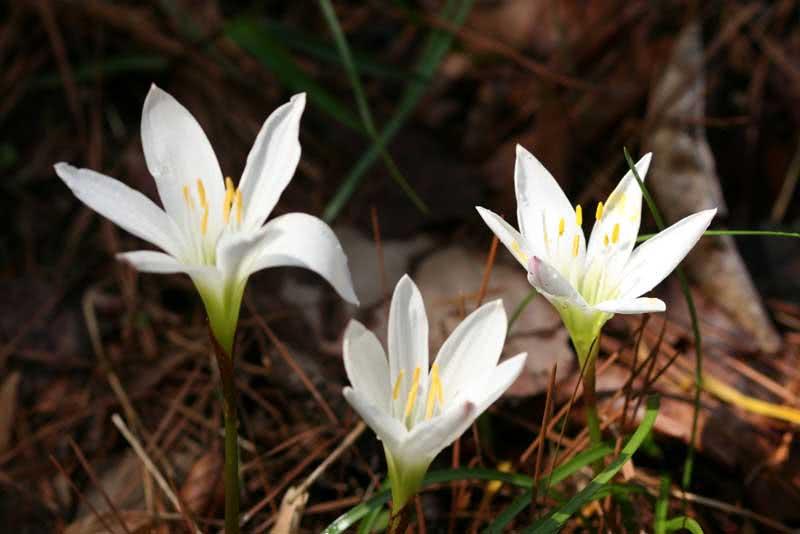 Zephyranthes atamasca / зефірантес атамаський