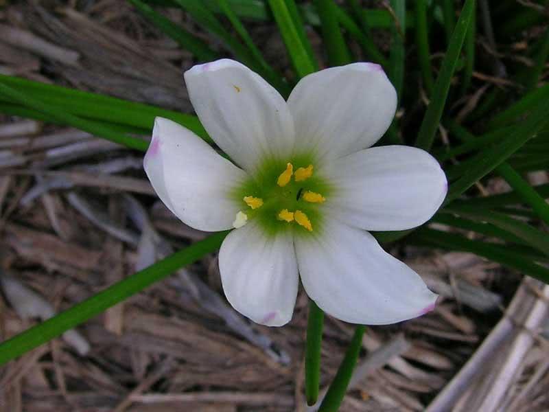 Zephyranthes candida / зефірантес білий