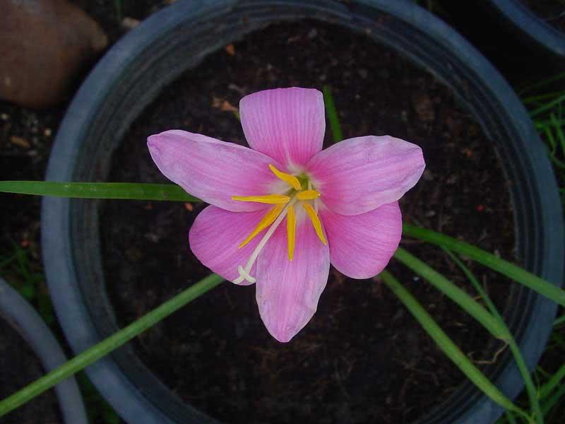 Zephyranthes grandiflora / зефірантес великоквітковий