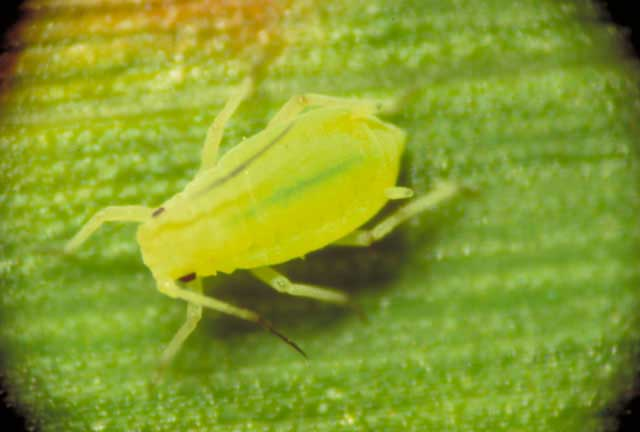 aphididae1