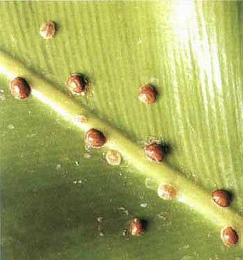 diaspididae2