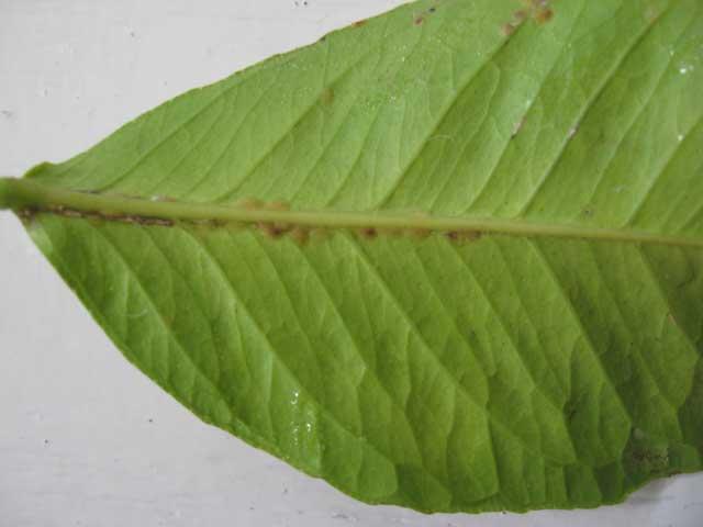 diaspididae3