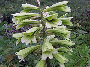 Растение кардиокринум – уход