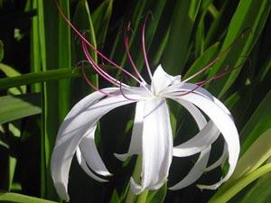 Квітка крінум - догляд