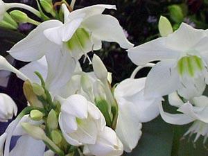 Квітка еухаріс – догляд