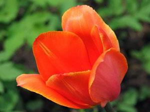 Лілійні – Тюльпан