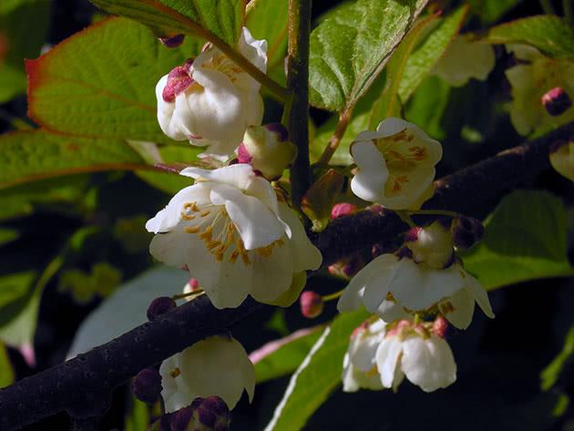 Цвітіння актинідії коломікта
