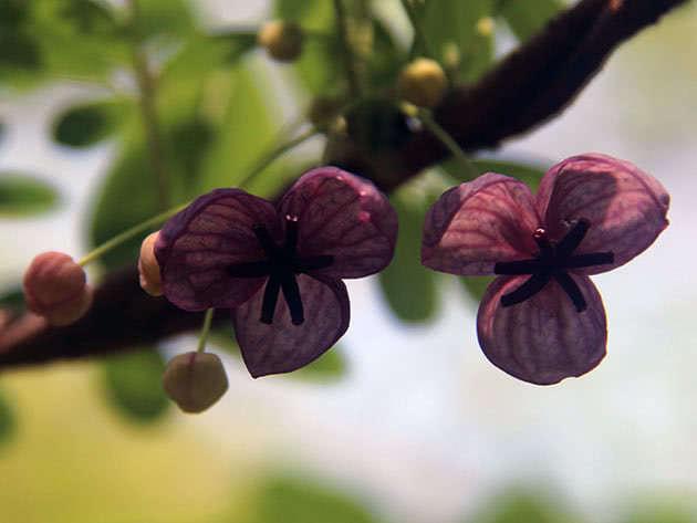 Цвітіння актинідії аргута
