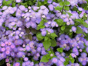 Квітка агератум