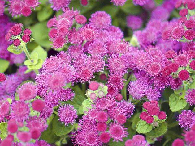 Рослина агератум