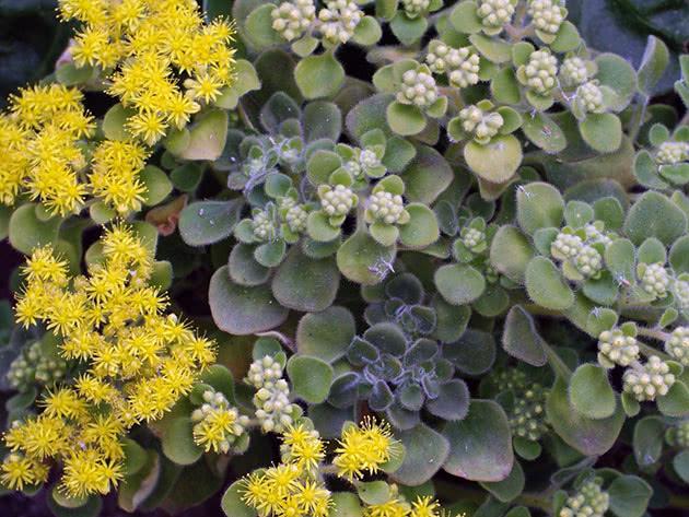 Цветы аихризон