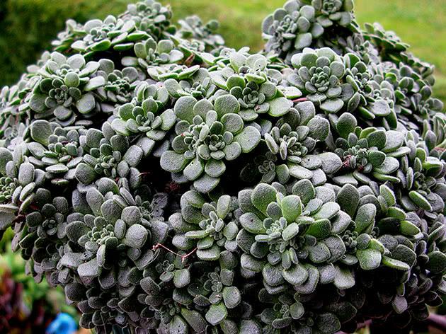 Аихризон извилистый / Aichryson tortuosum