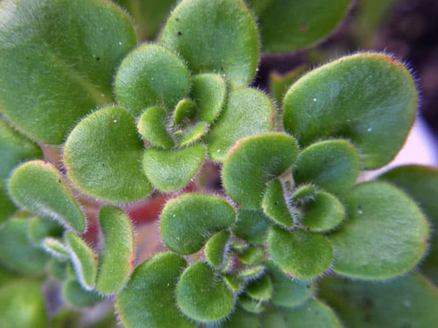 Аихризон рыхлый, или распростертый / Aichryson laxum
