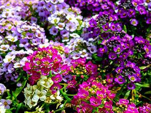 Квіти алісум