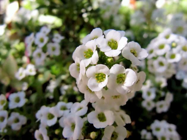 Flower or alyssum