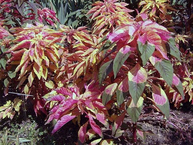 Амарант триколірний / Amaranthus tricolor