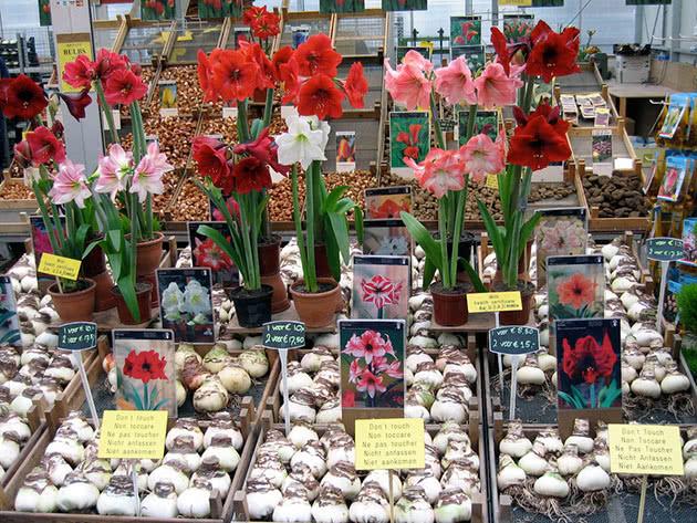 Луковицы амариллиса с образцами цветков