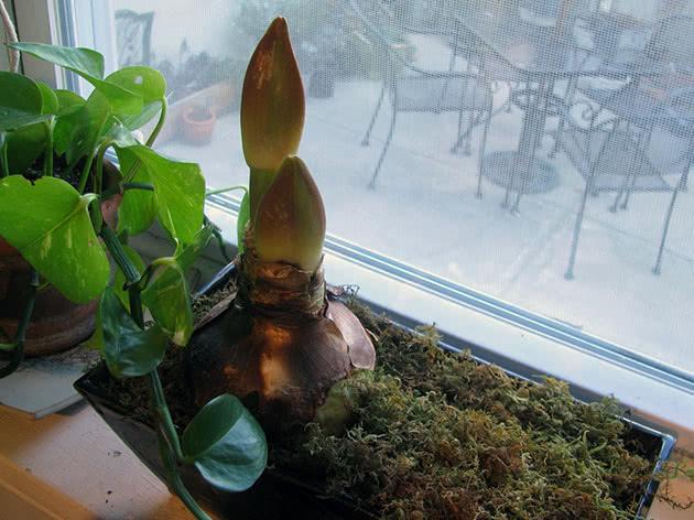 Прорастающая луковица амариллиса