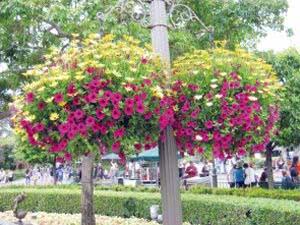 Ампельные растения в вазоне