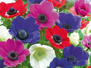 Квіти анемони