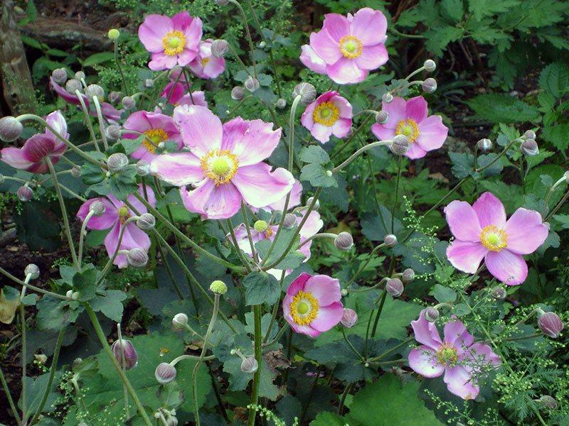 Анемона японська (Anemone japonica)