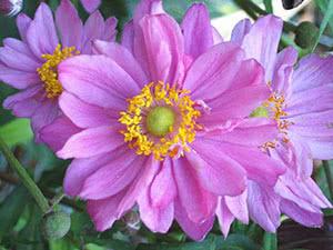 Анемона розовая