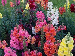 Квіти ротики