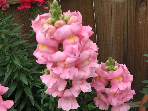 Snapdragons flower