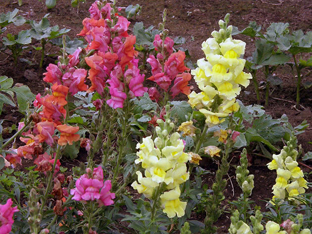 Blooming snapdragons in the garden
