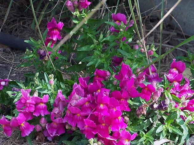 Flowering snapdragons