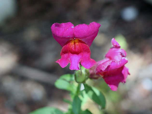Flower snapdragons