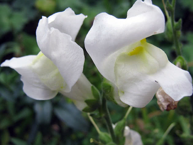 White snapdragons
