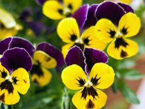 Квітка Братки