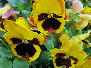 Цветок анютины глазки