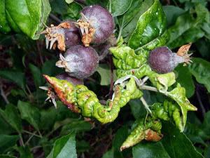 Болезни яблони и их лечение