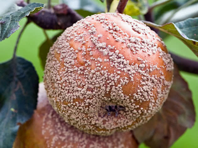 Плодовая гнилья яблони