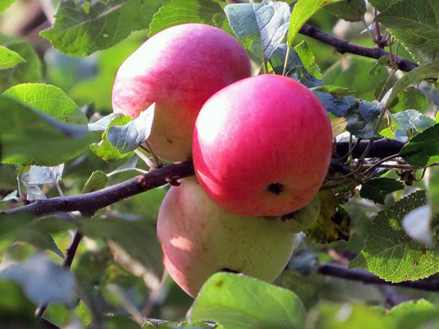 Плоды яблони – яблоки