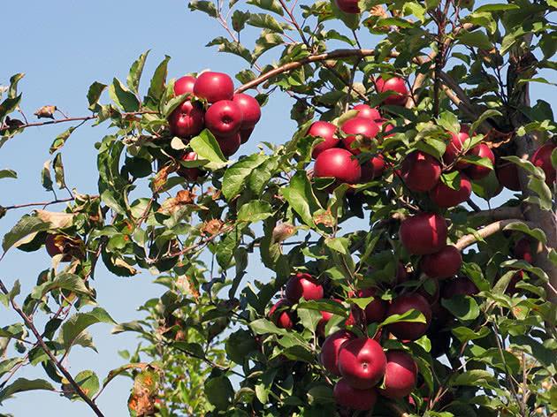 Плодоносящая яблоня в саду